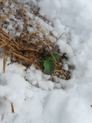 Baby broccoli got covered by 6 inches of snow on May 2nd.